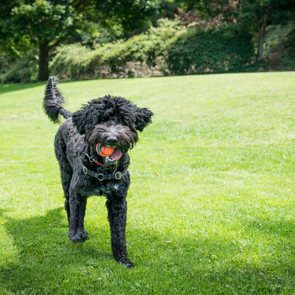 Happy dog with a ball in her mouth on the green grass outside at Oaks Station Place in Minneapolis, Minnesota