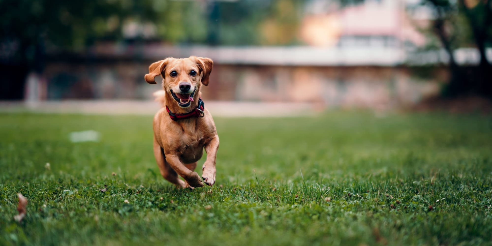 Happy dog running on the green grass outside at Parkwood in Lancaster, California