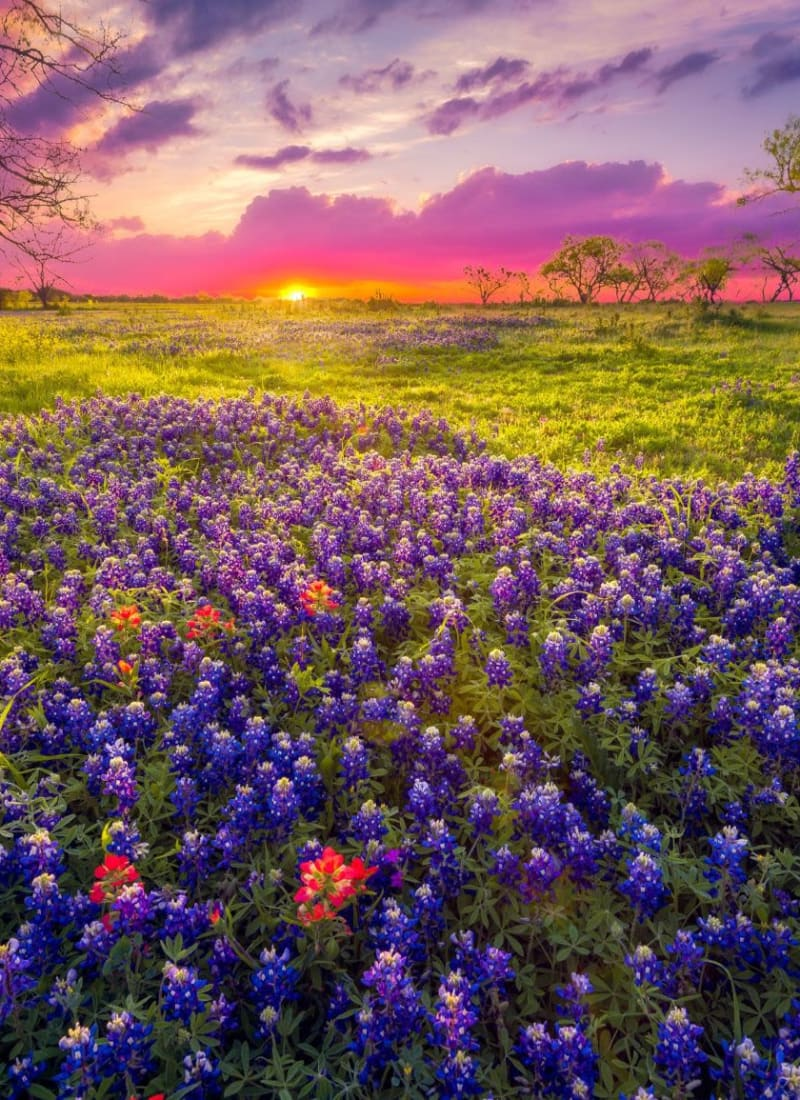 Flower fields near Marquis Bandera in San Antonio, Texas