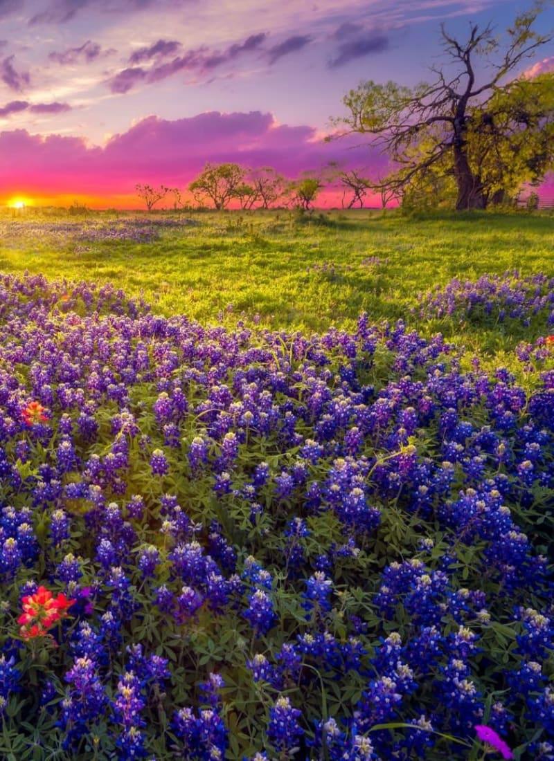 Flower field near Marquis at Stone Oak in San Antonio, Texas