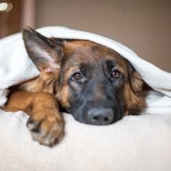 Dog under the blankets at Avilla Lehi Crossing in Mesa, Arizona