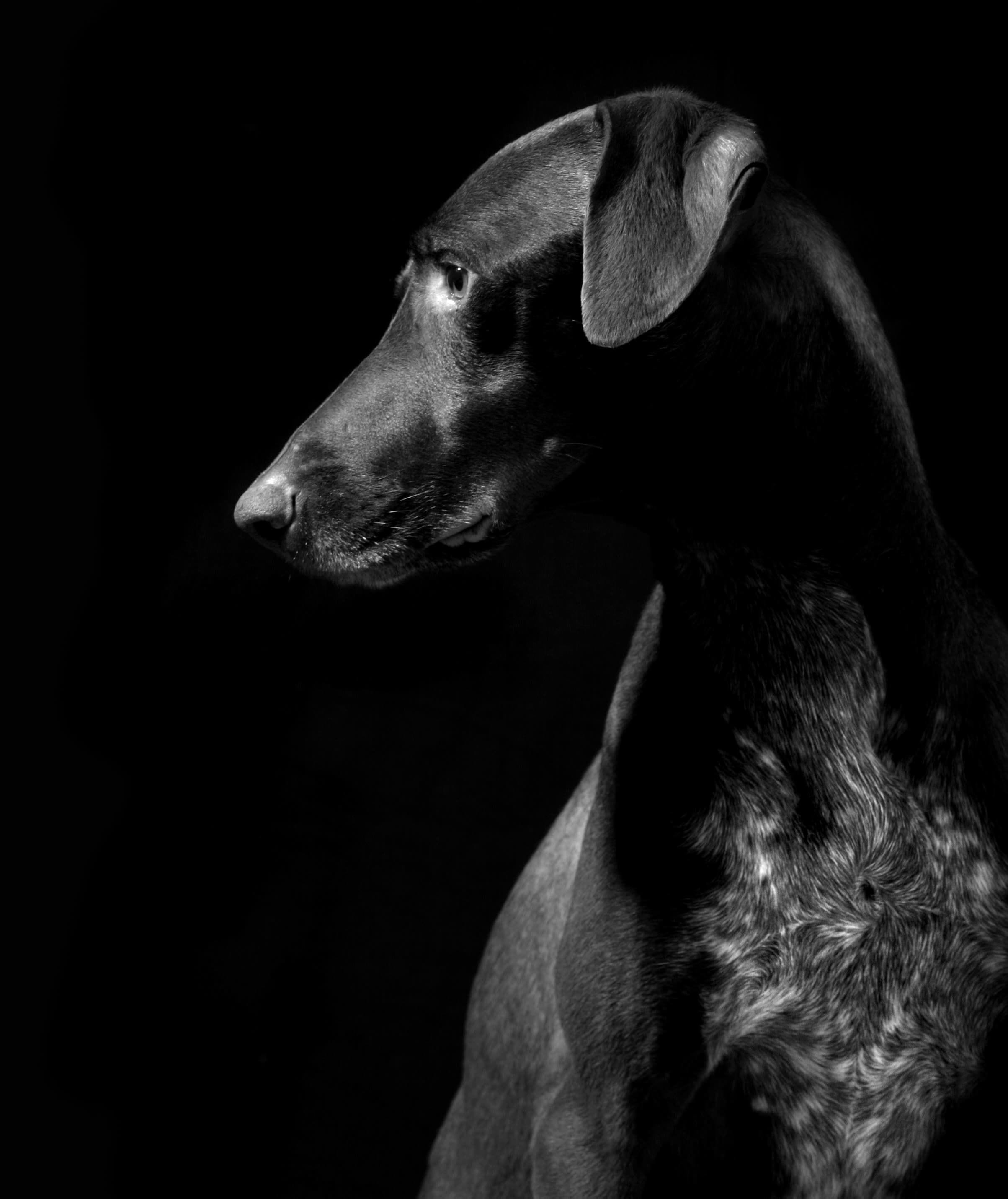 Sleek black dog at The Heights at Park Lane in Dallas, Texas