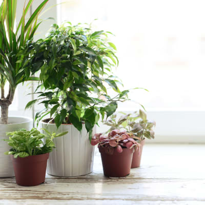 Thriving plants in a model home at Verse Seattle in Seattle, Washington