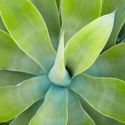 Close-up of a thriving succulent at Sofi Irvine in Irvine, California