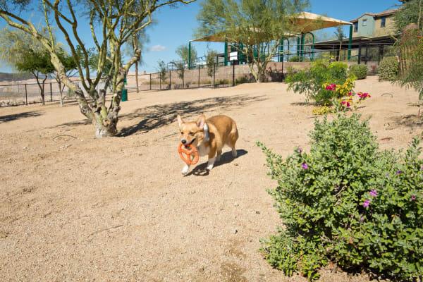 Cute labradoodle wearing a green bandanna at Las Colinas at Black Canyon
