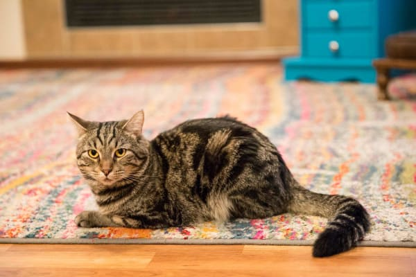 A Resident's cat lying on a rug at Providence Pointe in Johnston, Iowa