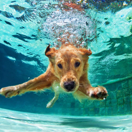 Dog swimming in the dog pool at Luxor Club in Jacksonville, Florida