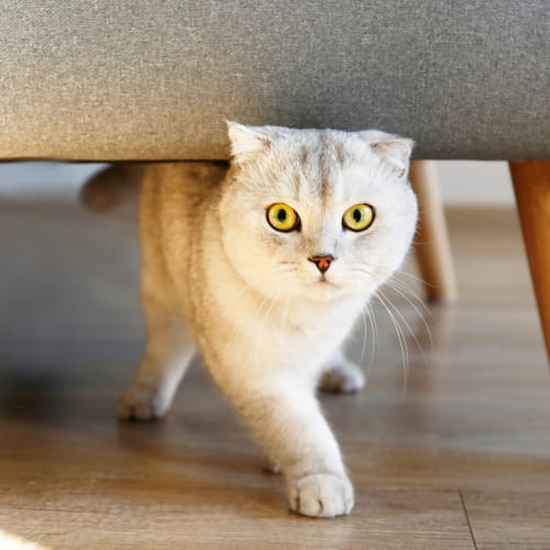 Cat walking under a chair at Palm Bay Club in Jacksonville, Florida