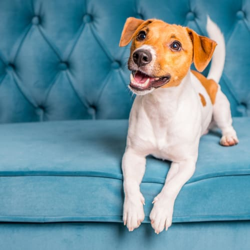 Happy puppy perking up on the couch as her owner returns to their new home at The Coast of Naples Florida in Naples, Florida