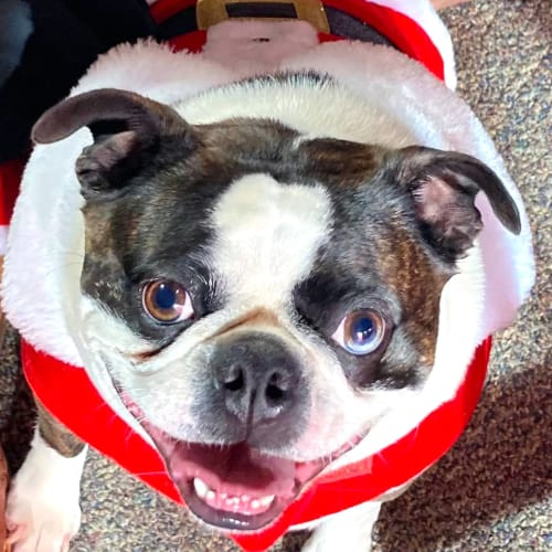 Cute black and white dog in a santa costume at Canoe Brook Assisted Living in Broken Arrow, Oklahoma