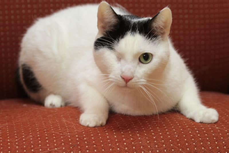 Bemini the Cat at York animal hospital