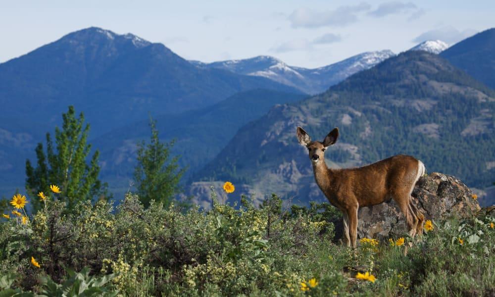 A deer grazing in the mountains near Honeysuckle Senior Living in Hayden, Idaho