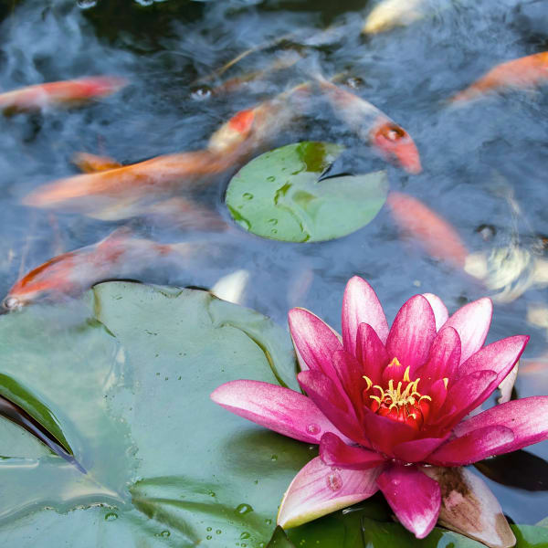 Koi and water lilies in a pond near Olympus Midtown in Nashville, Tennessee