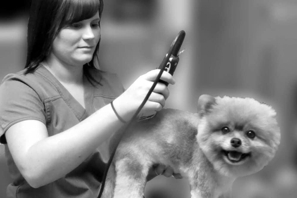 Groomer at Oldtown Veterinary Hospital in Winston Salem, North Carolina shaving a dog