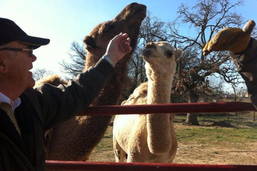 Veterinarian from Lee's Summit Animal Hospital meeting camels in Lee's Summit