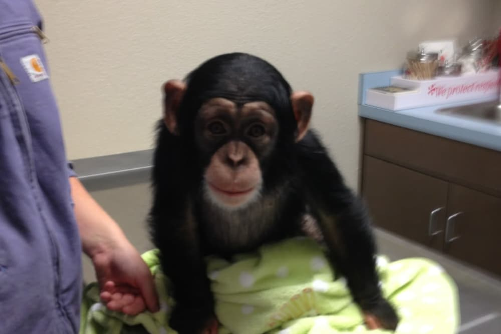 Chimp receiving care at Lee's Summit Animal Hospital in Lee's Summit