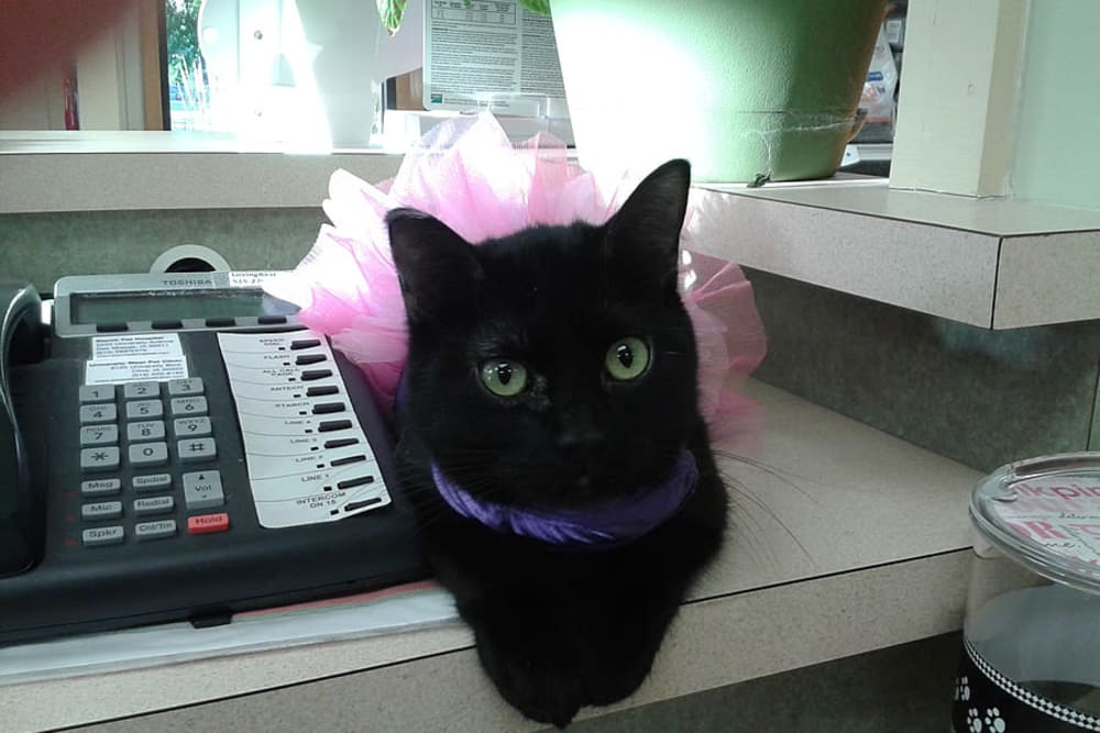 A cute black kitty wearing a tutu at University West Pet Clinic