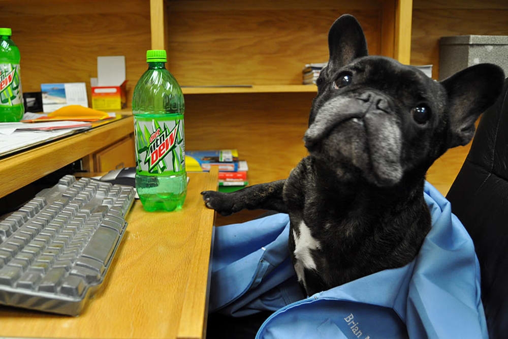 Doctor French Dog is the newest member of University West Pet Clinic
