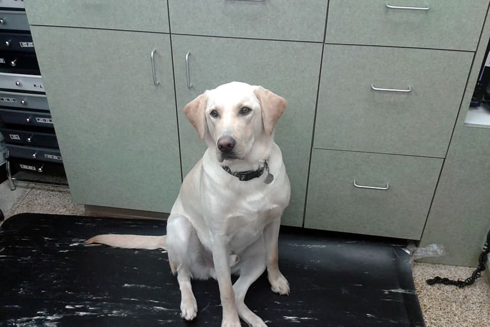 A cream colored lab waits patiently at University West Pet Clinic
