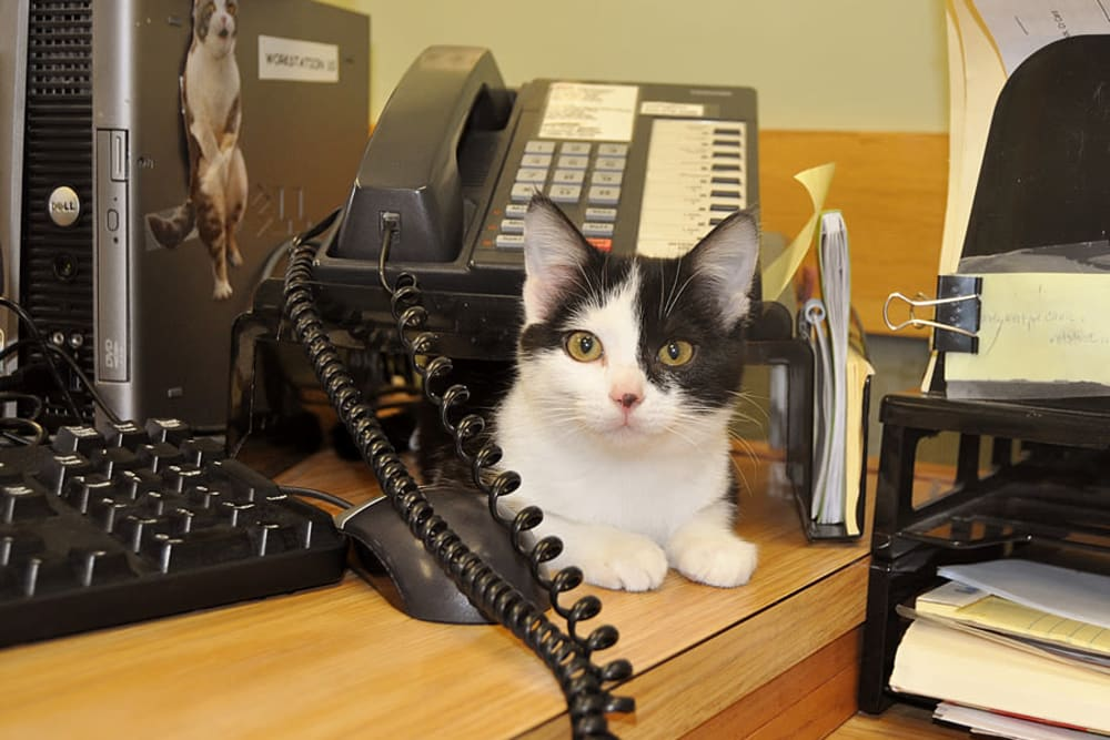 The new receptionist at University West Pet Clinic is Ivy the cat!
