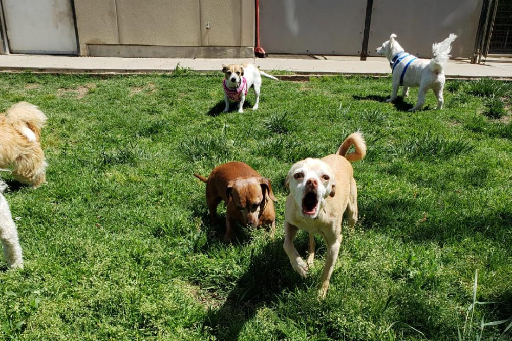 Barking dog with friends at University Pet Resort in Merced, California