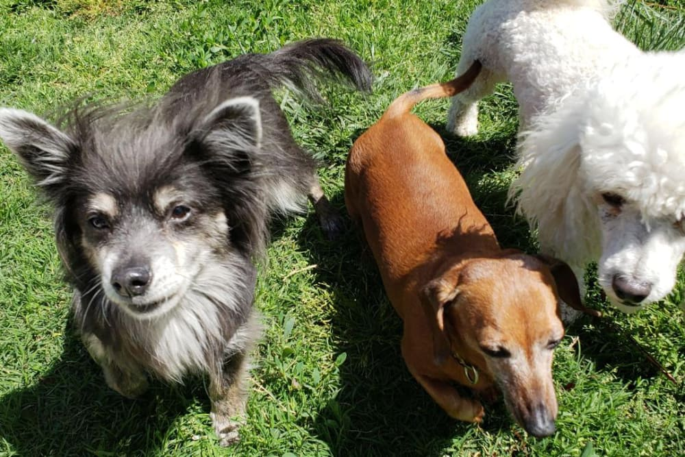 Trio of dogs at University Pet Resort in Merced, California