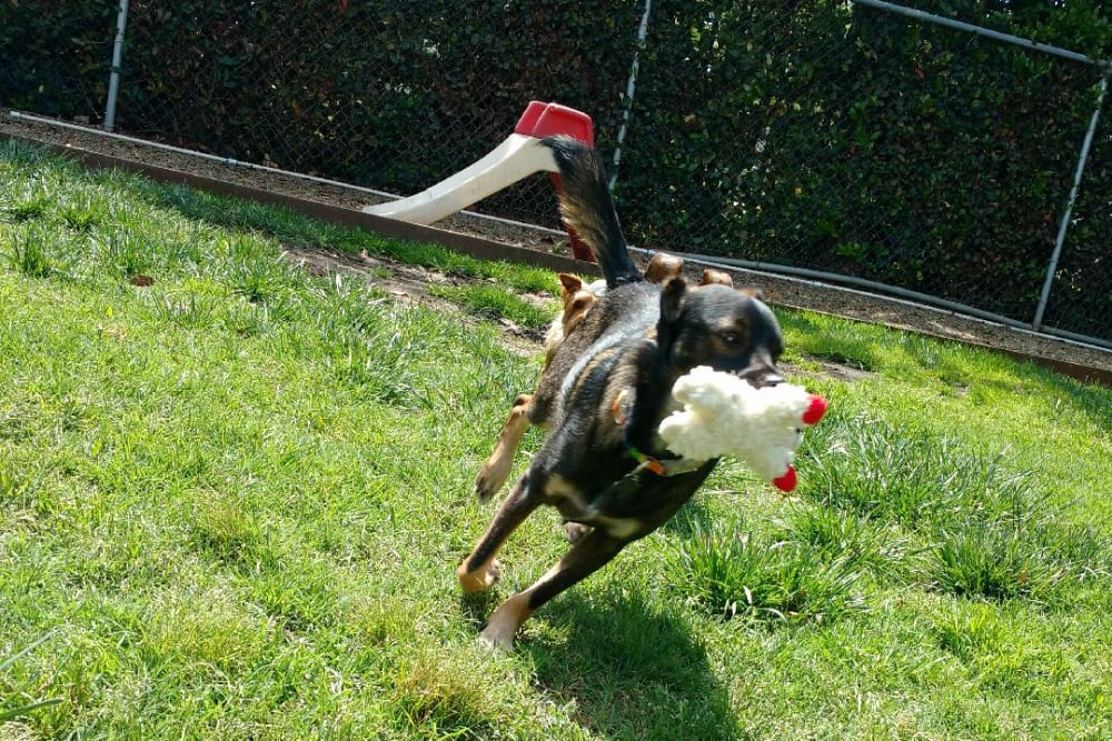 Dog running with toy at University Pet Resort in Merced, California