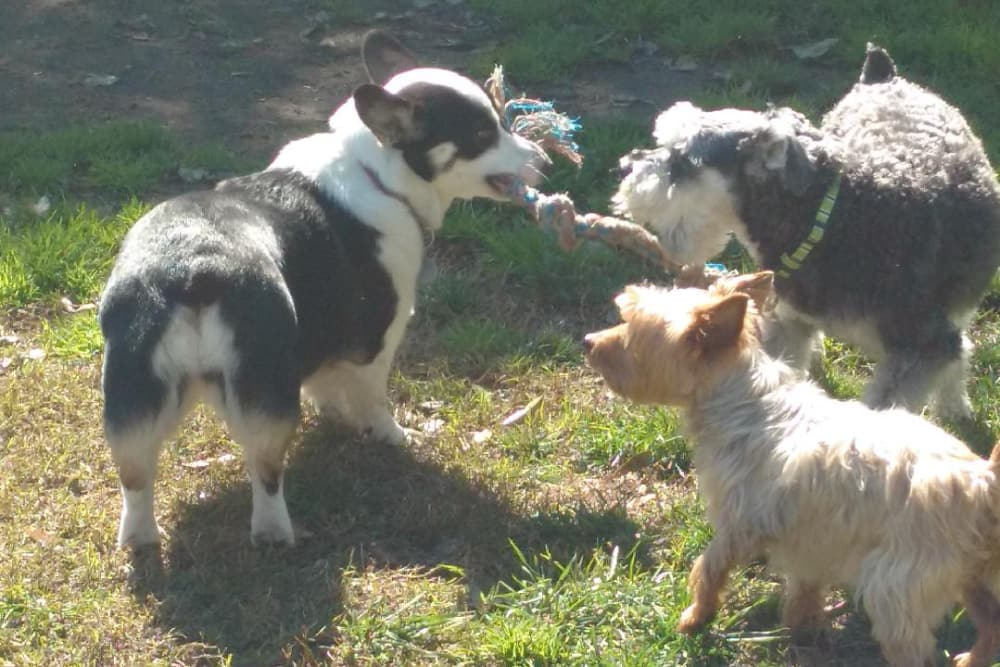 Dogs playing with a toy at University Pet Resort in Merced, California