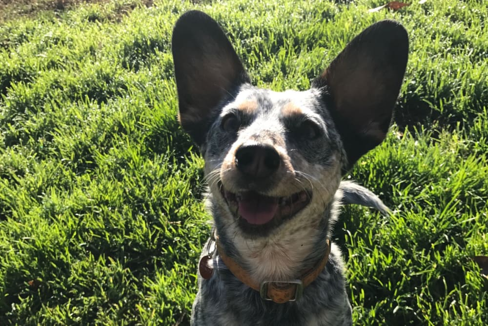 Cute dog smiling for the camera at University Pet Resort in Merced, California