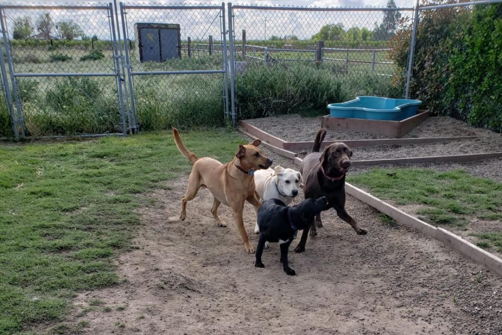 Dogs running around in the dirt at University Pet Resort in Merced, California