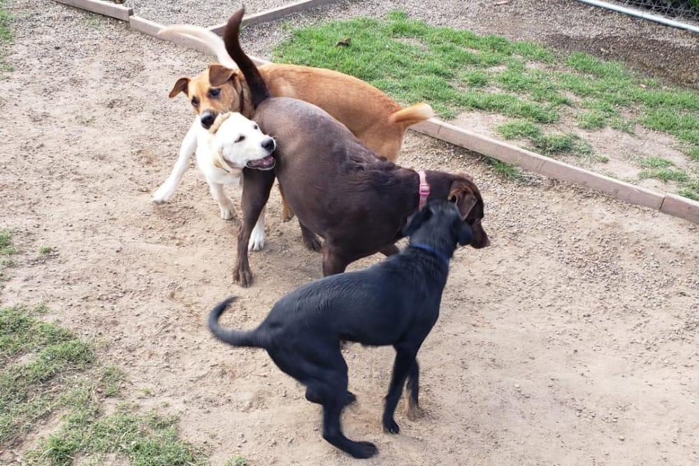 Dogs having a blast playing at University Pet Resort in Merced, California