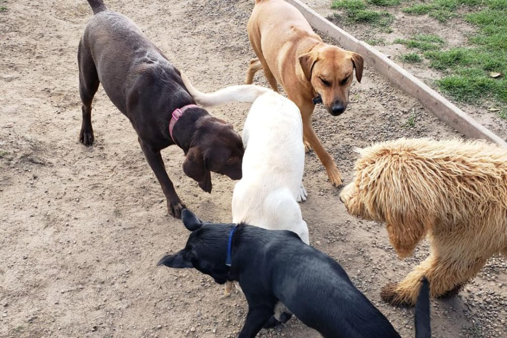 Dogs playing games outside at University Pet Resort in Merced, California