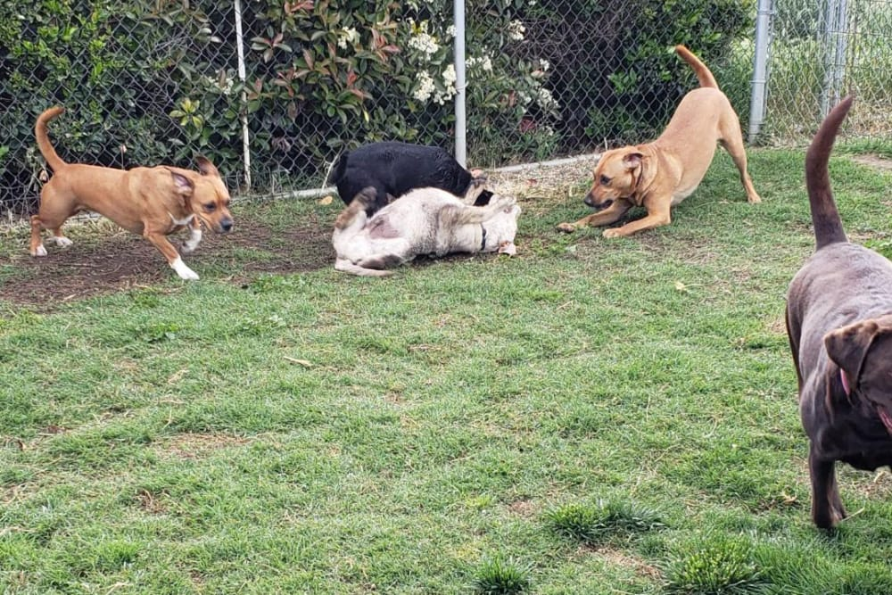 Dogs running around on grass at University Pet Resort in Merced, California