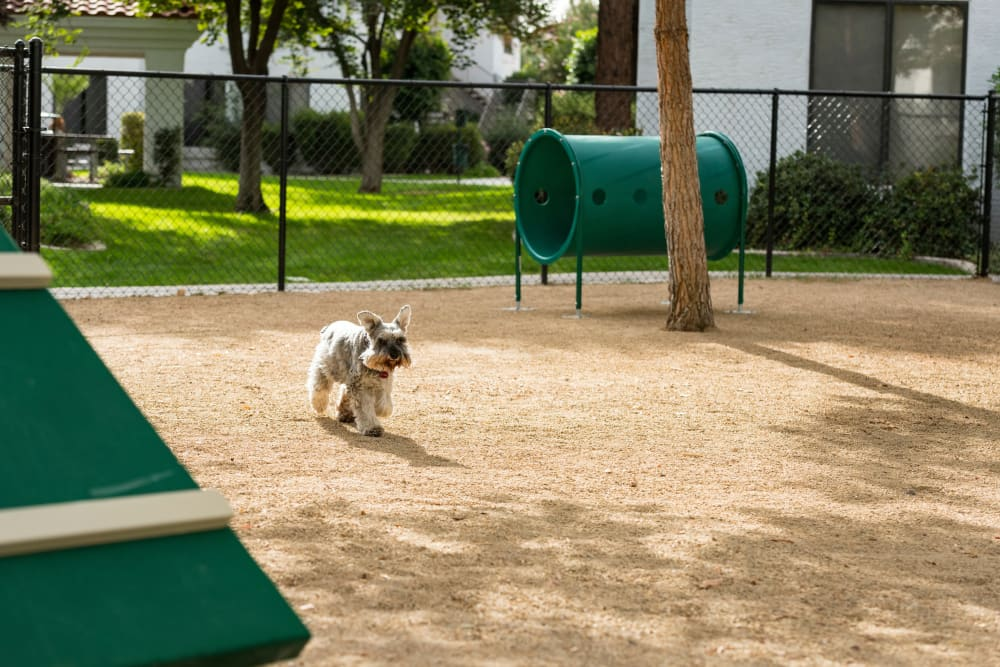 Dog playing on the park at San Antigua in McCormick Ranch in Scottsdale, Arizona