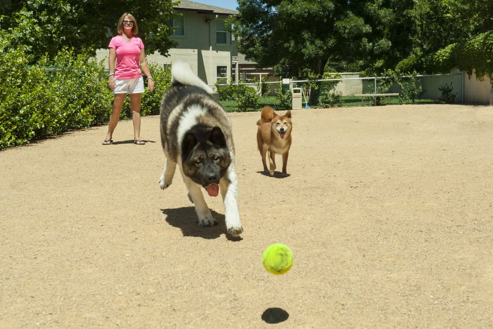 Resident playing fetch with their dogs at the dog park at Mission Ranch Apartments in Chico, California