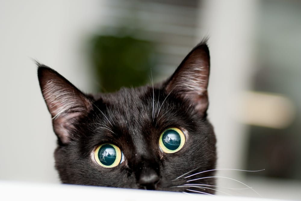 Black cat peeks out with wide eyes in the pet friendly community