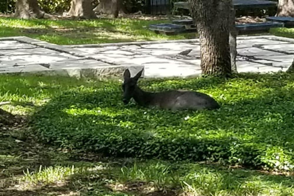 Deer outside at Bridge at Northwest Hills in Austin, Texas