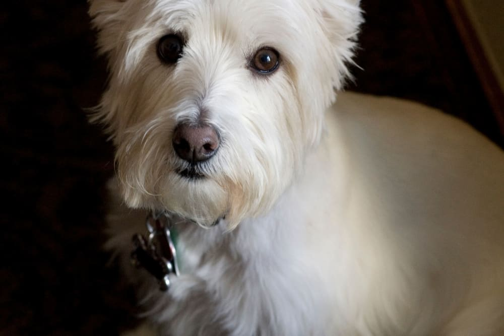 Adorable resident dog at Parsons House Preston Hollow in Dallas, Texas