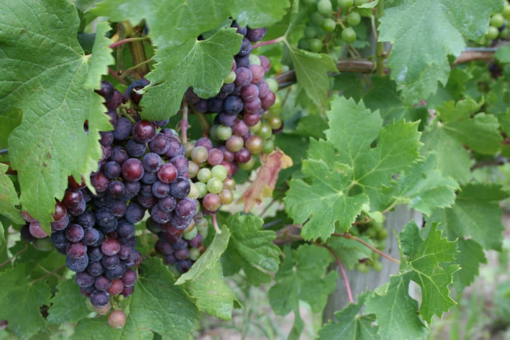 Fresh grapes near Reserve Pointe Apartments in Canandaigua, New York