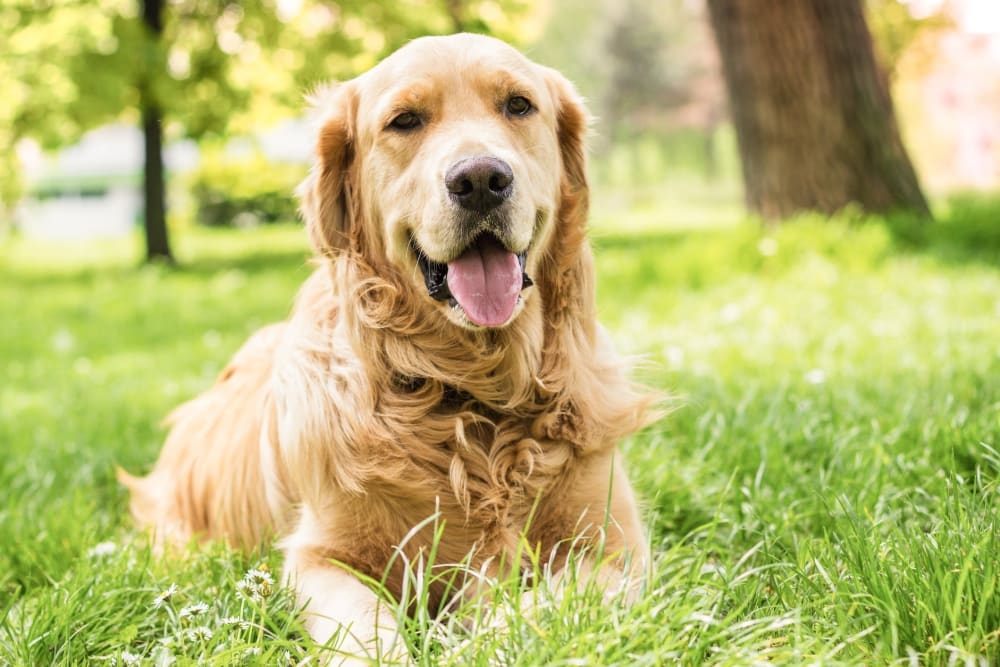 Happy dog sitting in grass at Oaks Riverchase in Coppell, Texas