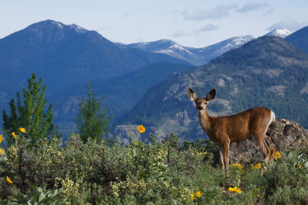 A deer in the mountains near Honeysuckle Senior Living in Hayden, Idaho