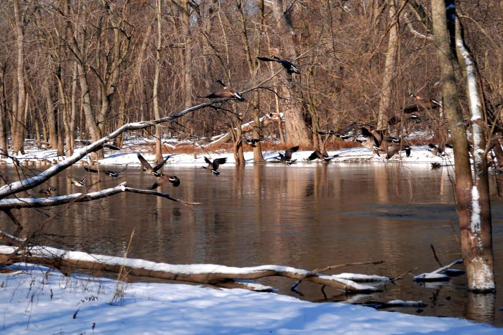 Birds flying near the river in Buffalo Grove, Illinois near 301 Riverwalk Place