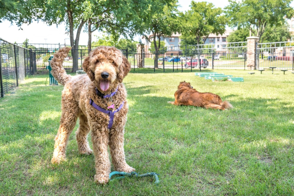 Dogs enjoying their time at the onsite bark park at Olympus Stone Glen in Keller, Texas