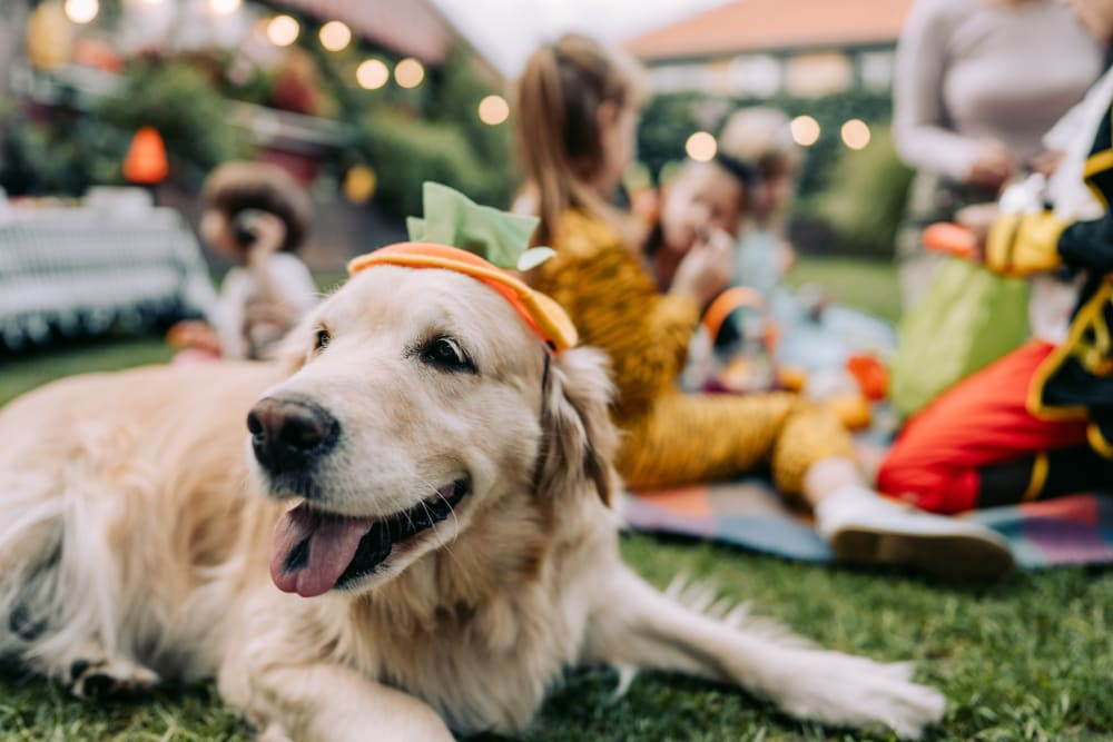Dog laying on grass wearing a pumpkin hat