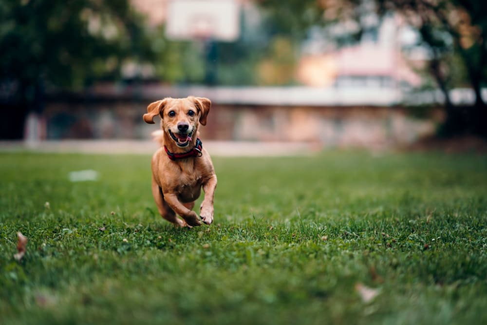 A resident pup running around at a local park near Meridian Watermark in North Chesterfield, Virginia