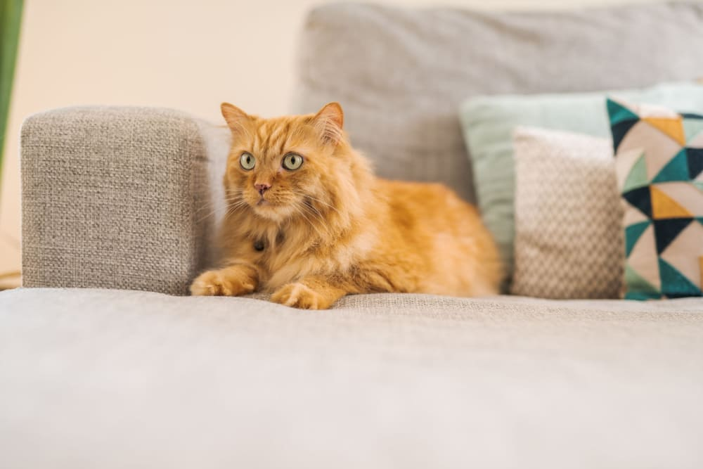 Cat sitting on a couch at Hilltop Commons Senior Living in Grass Valley, California