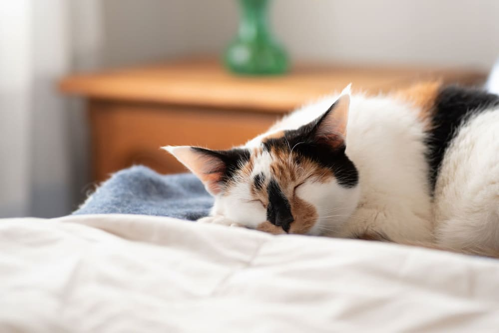 Cat sleeping in a bed at Village Pointe in Northridge, California