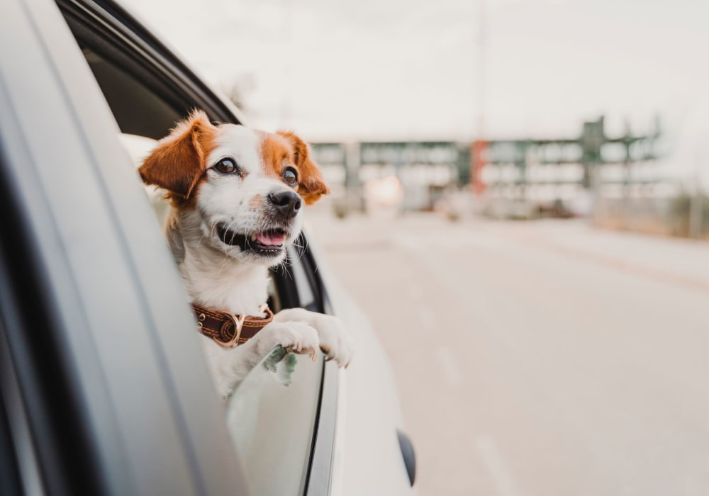 Dog in the back seat of a car in Aberdeen, Maryland near Winston's Choice Townhomes