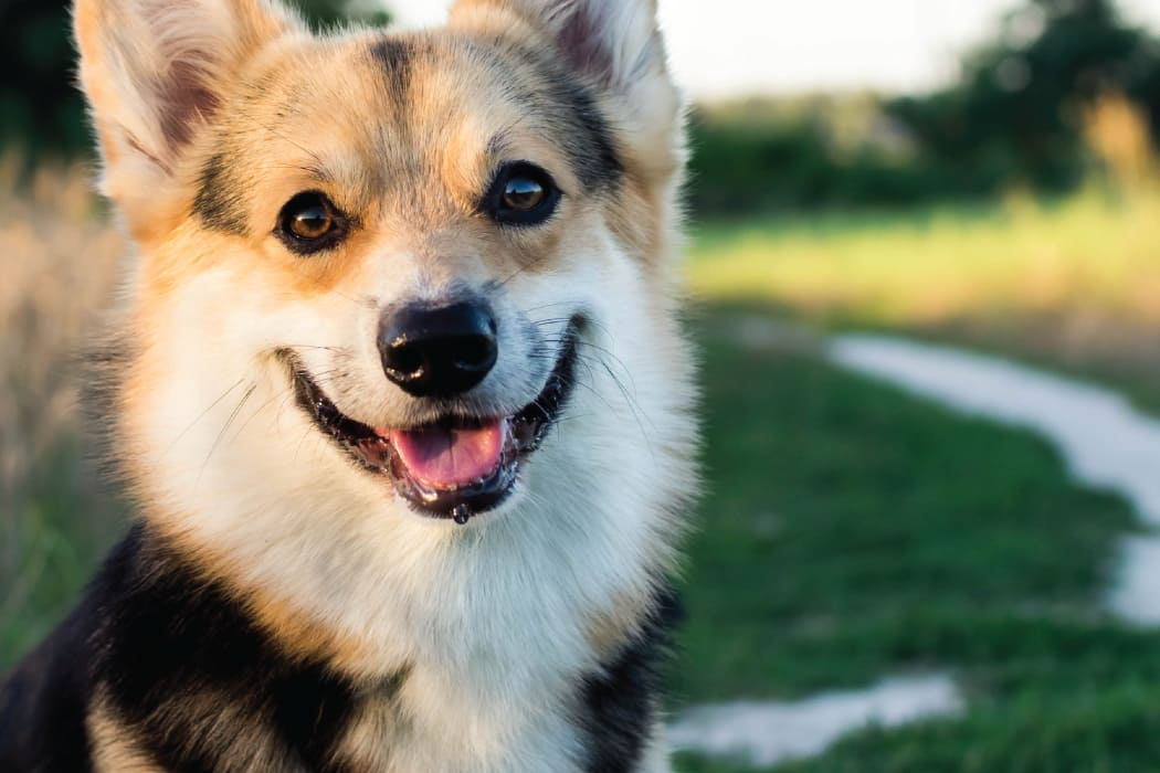 Happy corgi in Wichita, Kansas near Newport Wichita