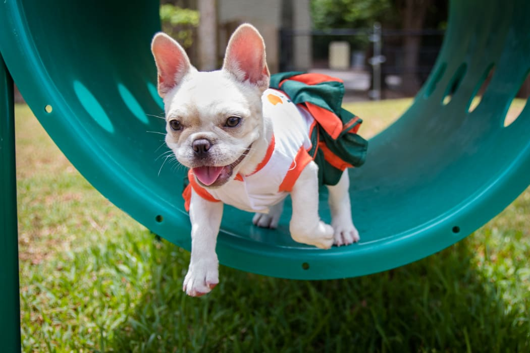 French Bulldog pup running the agility course at The Timbers at Long Reach Apartments in Columbia, Maryland